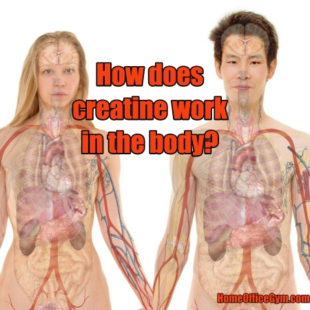 How does creatine work in the body?